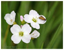 Small Moth on Cuckoo Flower