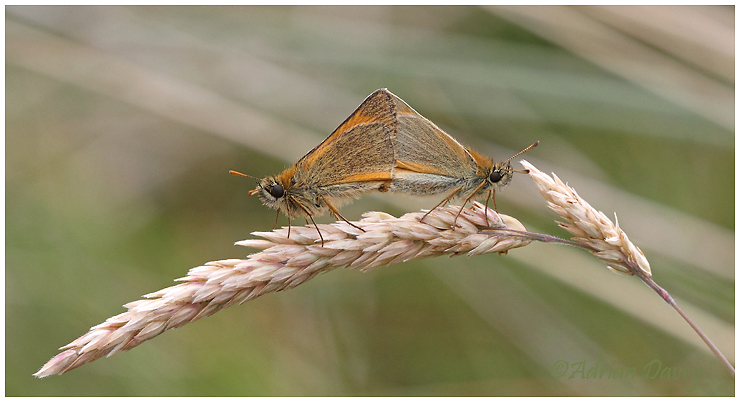 Small Skippers paired.