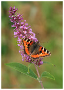 Small Tortoishell on Buddleia