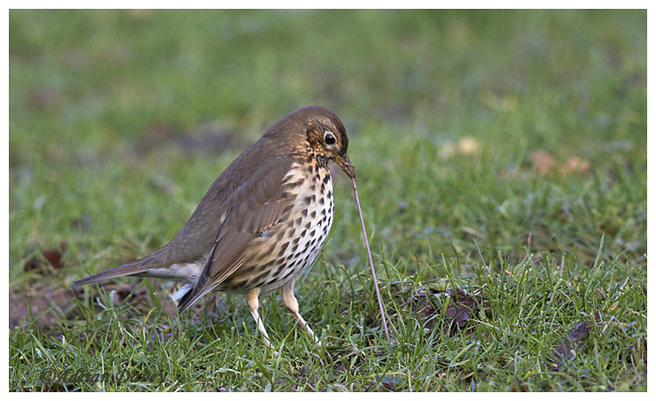 Song Thrush pulling on a Worm