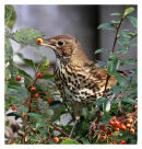 Song Thrush eating berries