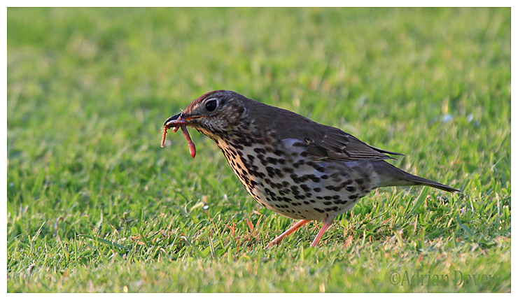 Song Thrush with food for its young