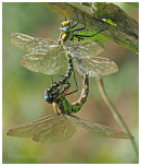 Southern Hawkers paired