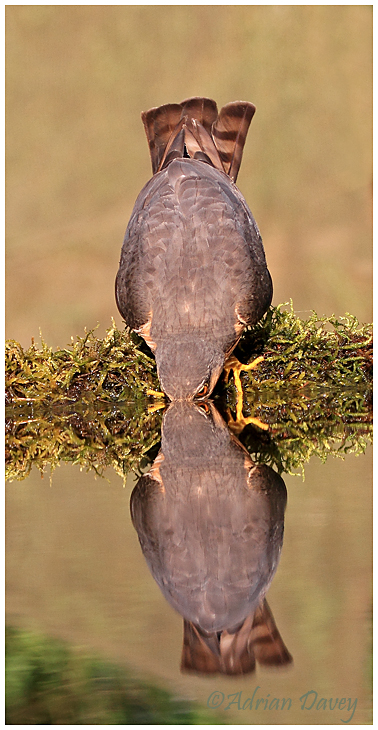 Sparrowhawk at drinking pool