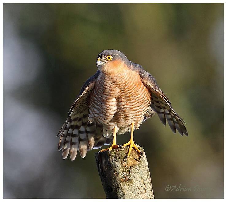 Sparrowhawk male