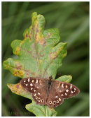 Speckled Wood on Oak Leaf