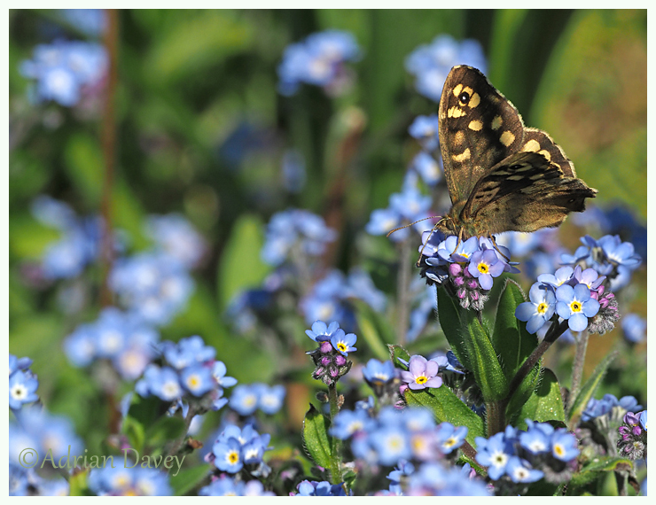Speckled Wood on Forget me not.