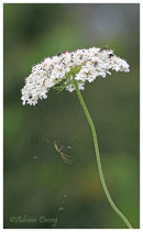 Long Jawed Orb Weaver on Wild Carrot