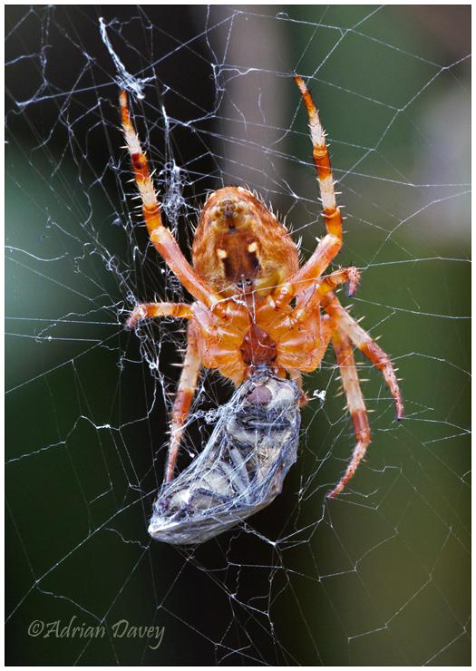Garden Spider with prey.