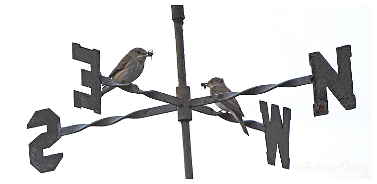 Spotted Flycatchers looking for nest directions!
