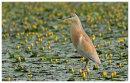 Squacco Heron adult