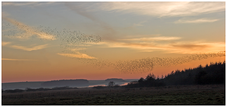 Starlings at sunset