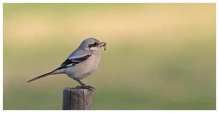 Steppe Grey Shrike 2