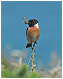 Stonechat male with food for young
