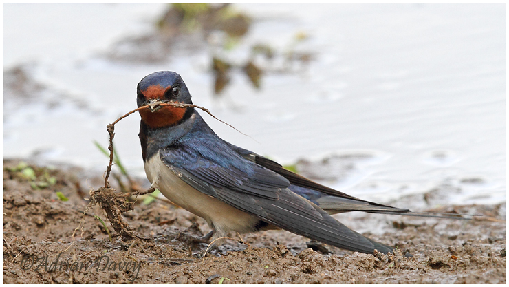 Swallow collecting mud 2