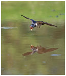 Swallow coming into drink