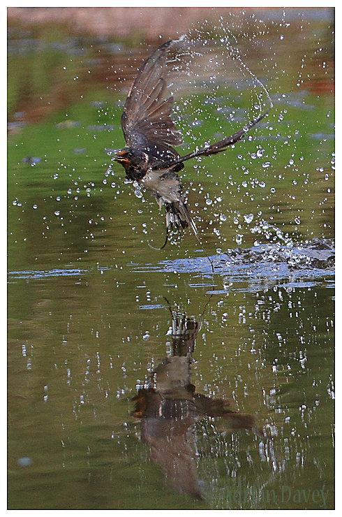 Swallow, just taken a drink