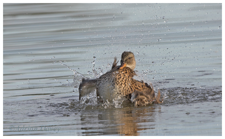 Female Teal bathing.