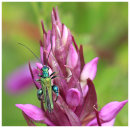Thicl LeggedFlower Beetle on Orchid