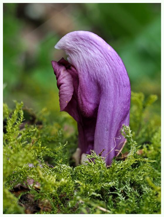 Purple Toothwort