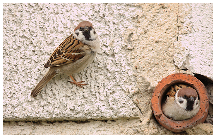 Tree Sparrow Nesting in wall