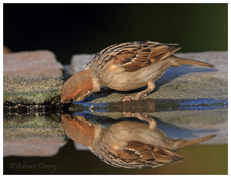 Tree Sparrow at drinking pool