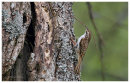Treecreeper with nest material