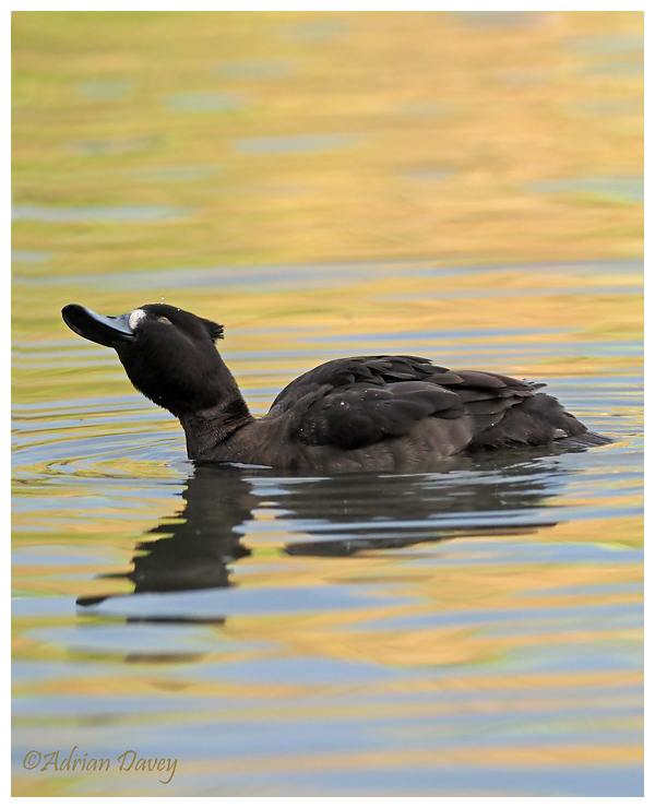 Tufted Duck female.