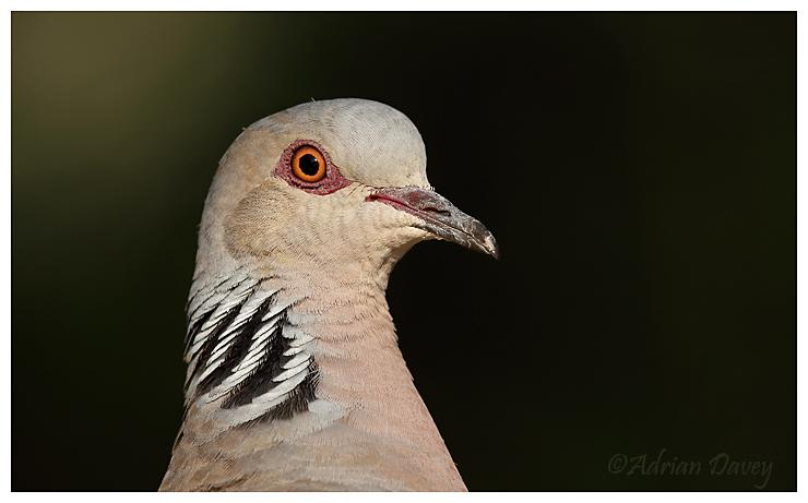 Turtle Dove portrait.