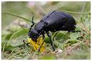 Violet Oil Beetle