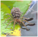 Pirate Spider carrying young