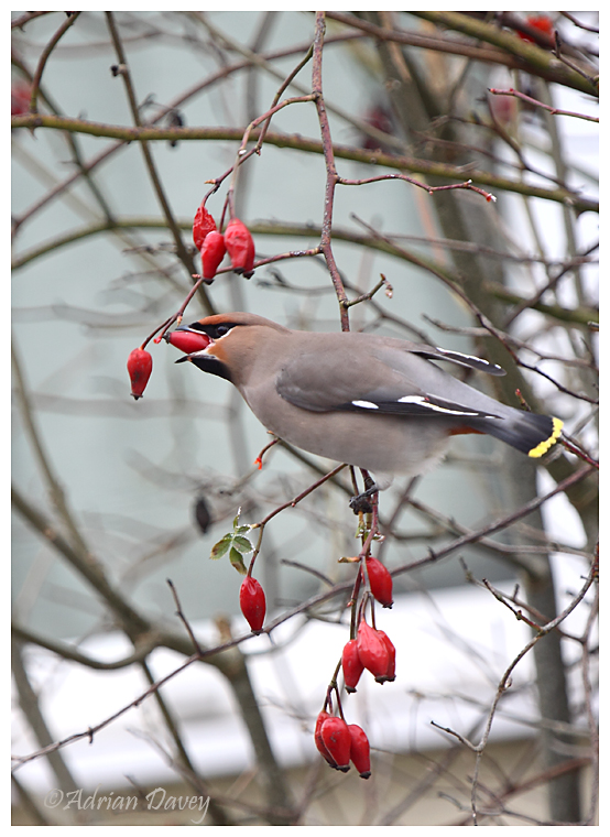 Waxwing on Rosehips