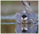 Whiskered Tern bathing
