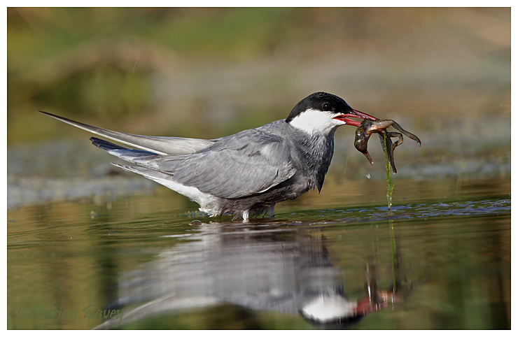 Whiskered Tern with catch 3