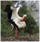 White Storks mating on the nest