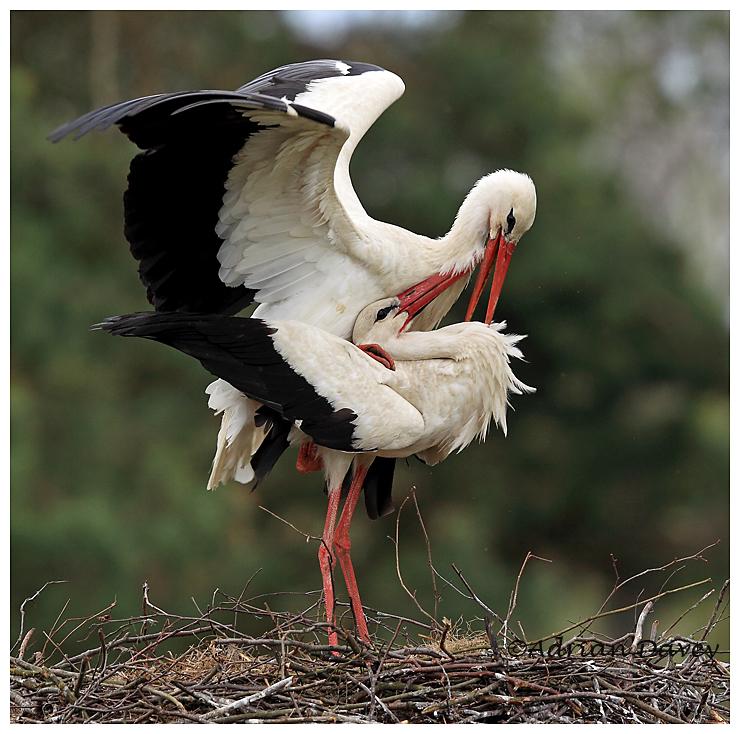White Storks mating on the nest