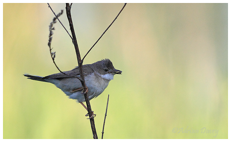 Whitethroat with food for young