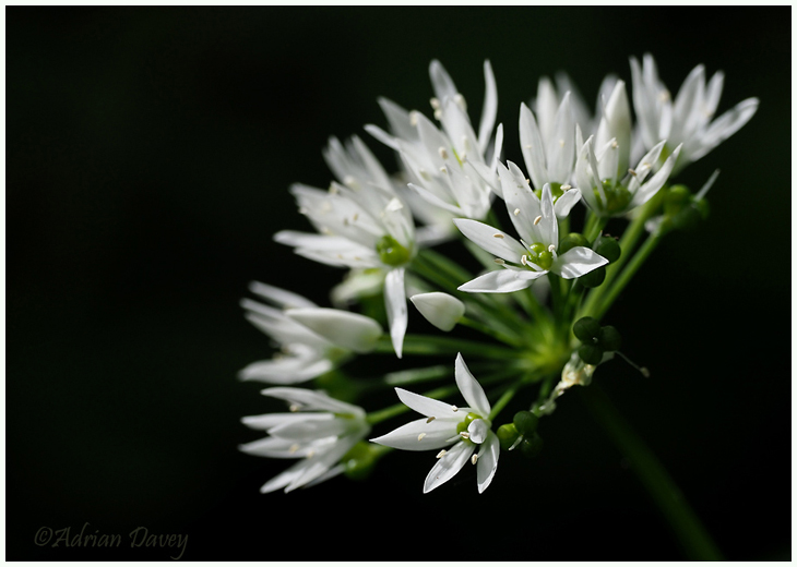 Wild Garlic ( or Ransom)