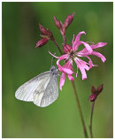 Wood White on Ragged Robin