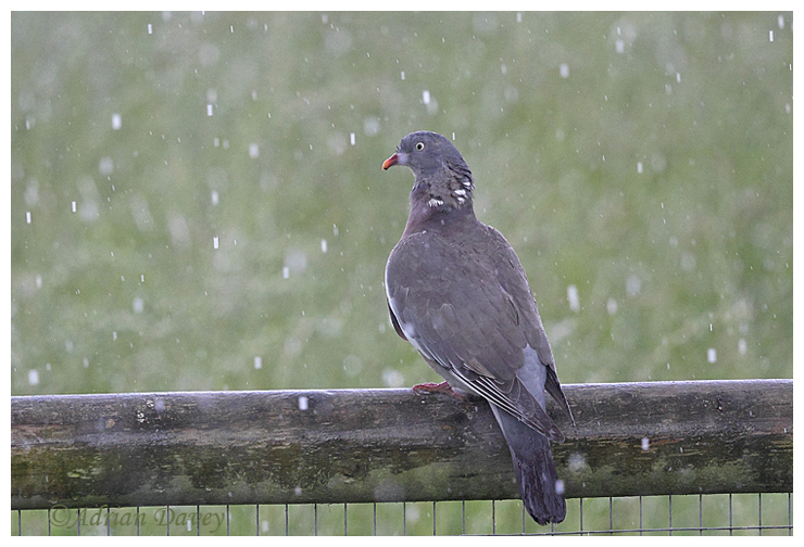 Woodpigeon in the Rain
