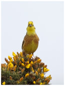 Yellowhammer on Gorse
