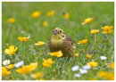 Yellowhammer among Buttercups 2