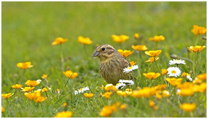 Yellowhammer among Buttercups 1