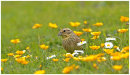 Yellowhammer among Buttercups 1