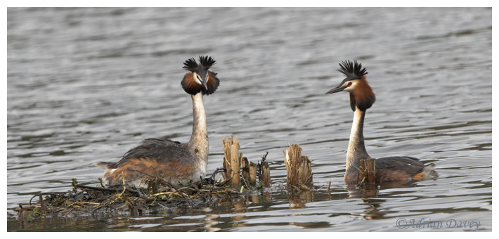 Great Crested Grebes at nest.