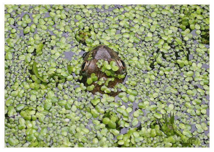 Common Frog in duckweed