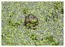 Common Frog in duckweed