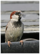 House Sparrow with feather