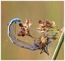 Garden Spider eating a blue Damsel