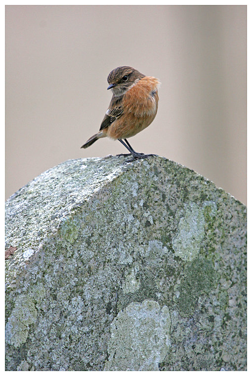 Stonechat on gravestone
